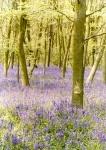 the_vale_-_bluebellwoods_w_699493.jpg